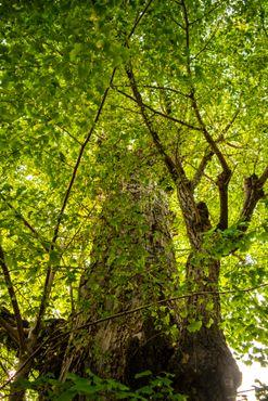Вздымающееся ввысь дерево гинкго