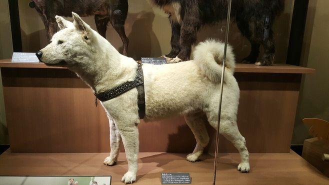 Хатико все ещё ждёт в Национальном музее природы и науки в Токио