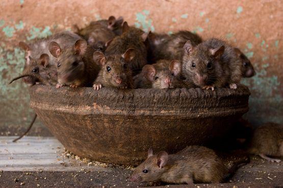 Крысы храма Карни Мата