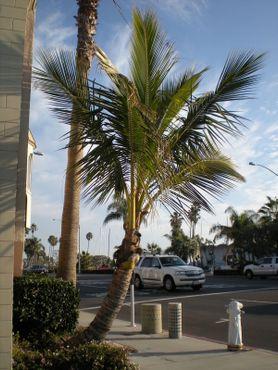 Вот она, во всей своей карликовой красе, кокосовая пальма в Ньюпорт-Бич