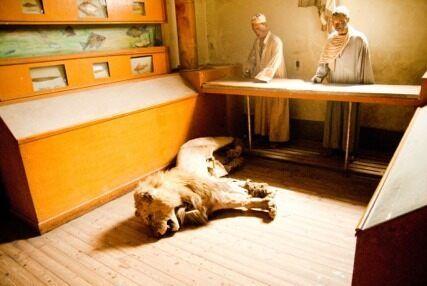 Сломанное чучело льва лежит на боку