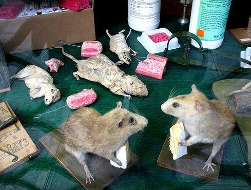 Чучела крыс внутри магазина