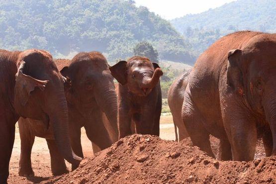Играющие в грязи слоны в природном парке
