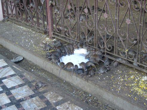 Обед крыс возле Карни Мата