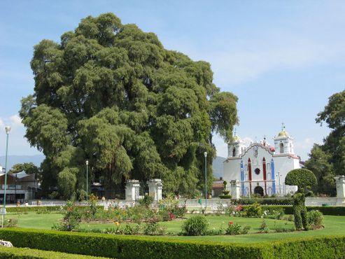 Дерево Туле и церковь в его тени