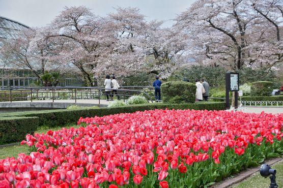 Цветение сакуры и тюльпаны в ботаническом саду