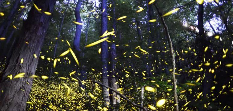 Световое шоу синхронных светлячков из Теннеси