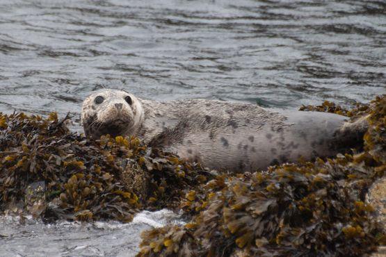 Атлантический серый Тюлень