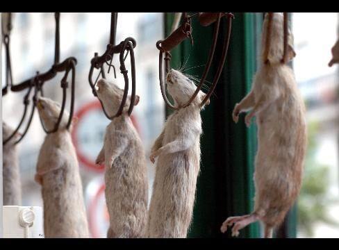 Столетние крысы