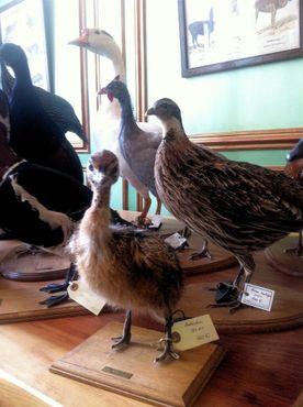 Чучела птиц в Дейроле