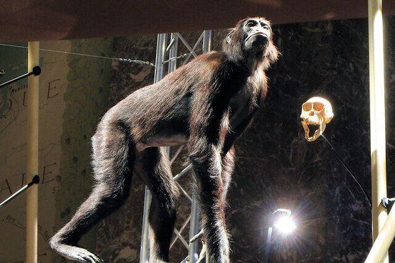 """Череп и чучело обезьяны бонобо, также известной как """"карликовый шимпанзе"""", запечатлённой с высокомерным взглядом"""