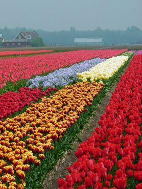 Огромное разнообразие тюльпанов