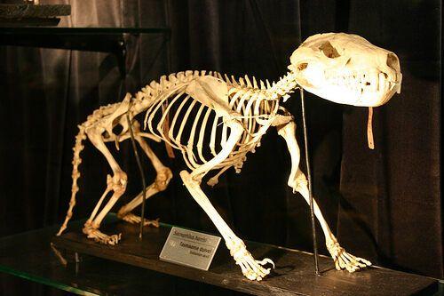 Скелет тасманийского дьявола