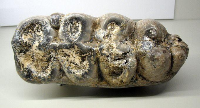 Моляр мастодонта Gomphotherium angustidens