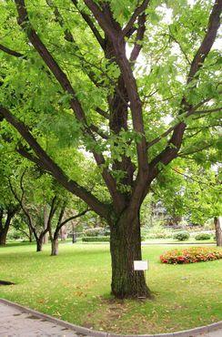 Дерево Юрия Гагарина
