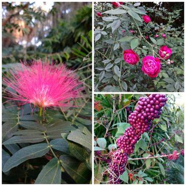Розовые цветы в декабре!