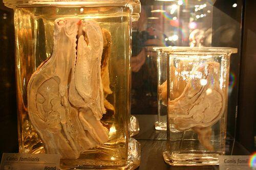 Собачий череп в разрезе