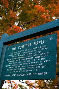 Табличка с исторической справкой о клёне Комфорт