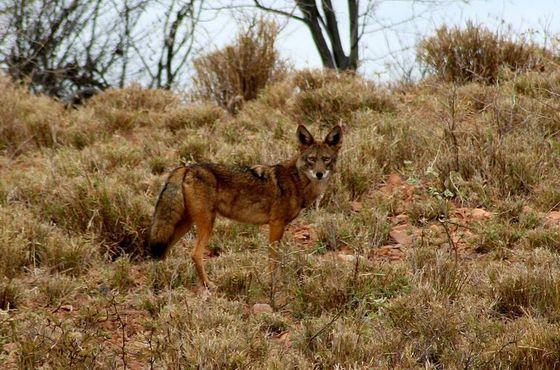 Дикий койот в северной Мексике