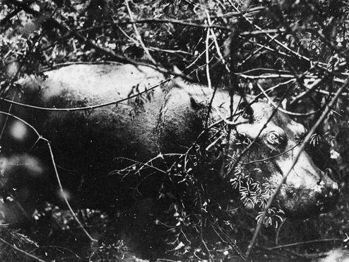 Редкая фотография Губерты в дикой природе, сделанная в 1928 году недалеко от деревни Новый Гелдерланд