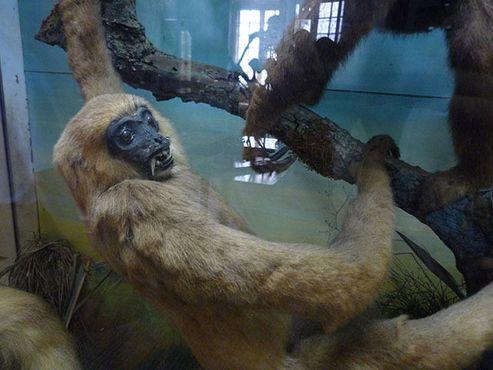 Еще один давний экспонат - чучело клыкастого примата