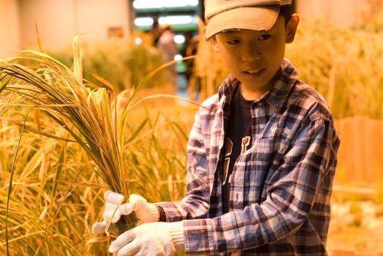 Юный фермер собирает рис в «Пасона Груп»