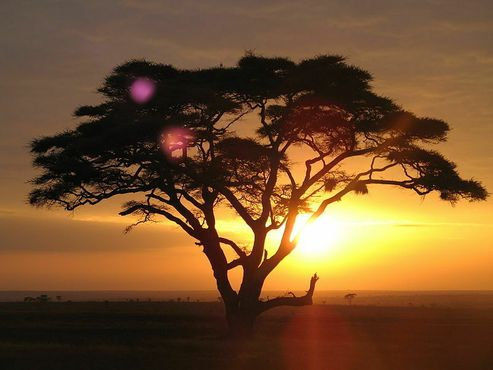 Дерево в приграничных районах возле Сахары