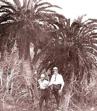 Два из оставшихся стеблей энцефаляртоса Вуда в Онгойском лесу в 1907-1912 годах