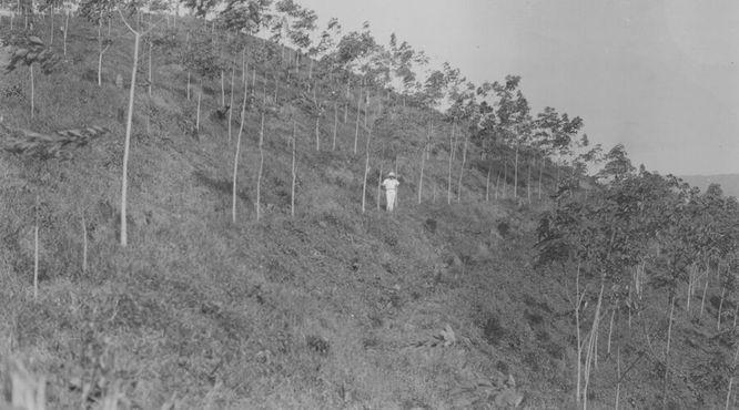 Гевеи в 1937 году