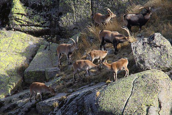 Стадо козерогов в национальном парке Ла-Педриса