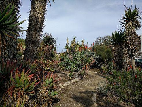 Разные виды алоэ в ботаническом саду Милдреда Матиаса