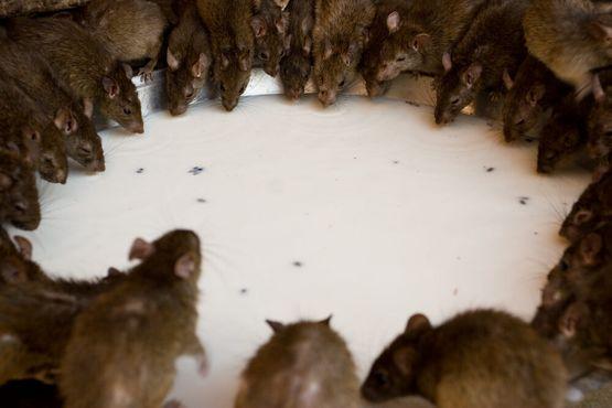 Круг из крыс в храме Карни Мата
