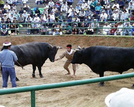 Дрессировщики ставят быков в стартовые позиции