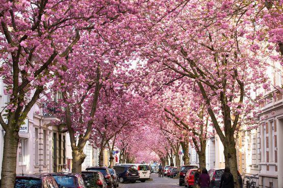 Деревья цветущей сакуры образуют очаровательный розовый тоннель