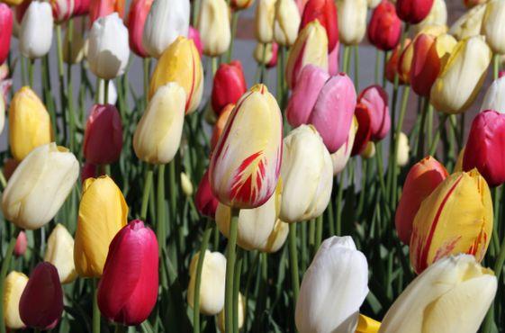 Лонгвудские тюльпаны