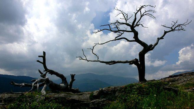 Дерево Бурмиса