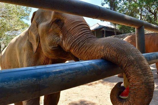 Кормление арбузом в природном парке слонов