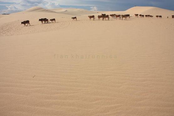 Коровы в пустыне