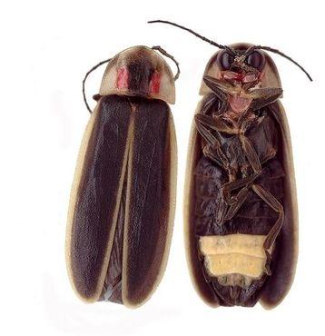 Самцы Photinus carolinus мерцают синхронно, каждый год в течение примерно двух недель каждый май или июнь возле кемпинга Элкмонт в национальном парке Грейт Смоки Маунтинс