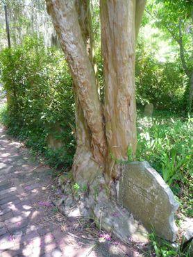 Дерево берёт верх над надгробием