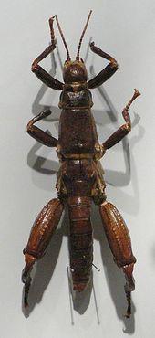 Эндемик острова, палочник Dryococelus australis