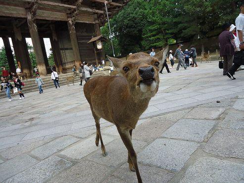 Один из священных оленей Нары подошел поговорить