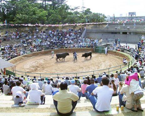 Турнир бычьих боёв на Окинаве