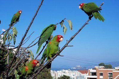 Дикие попугаи с Телеграф-Хилл