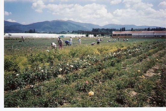 Сбор цветов в Долине Роз