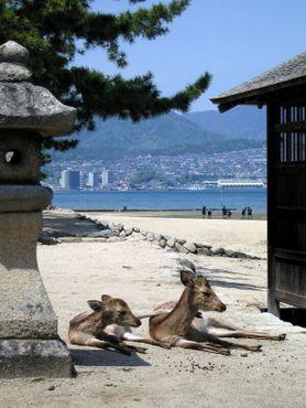 Олени Миядзимы живут на этом острове уже 6000 лет