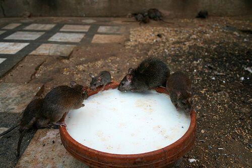 Кормление крыс храма Карни Мата