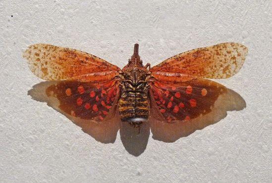 """Мексиканское насекомое с дьявольским научным названием """"Фулгора сатанас"""""""