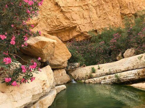 Олеандры в каньоне Вади-Балу