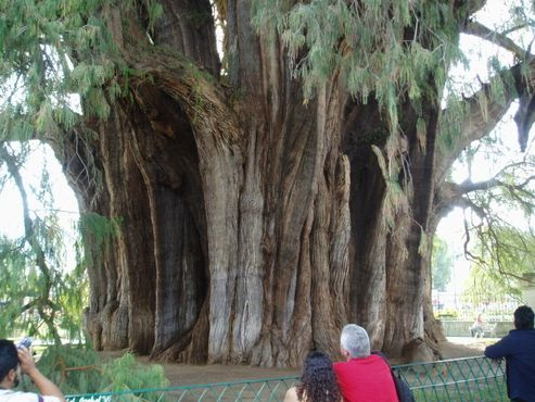 Охват у дерева больше, чем у любого другого в мире